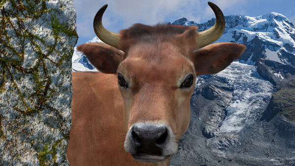 3D Charakter: Cow-Animation | Modelling, Texturierung | Rigging, Morpherstellung | Hairsetup | Beleuchtung & Rendering